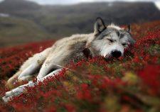 Wolf HD