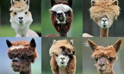 Alpaca Widescreen