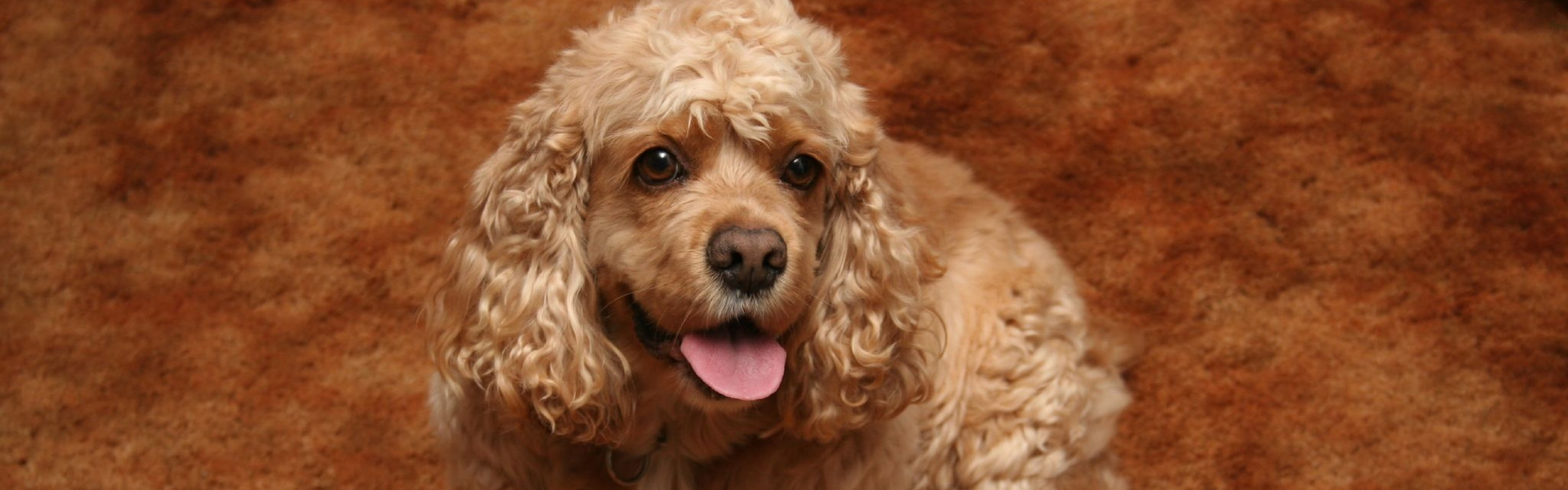 American Cocker Spaniel Widescreen