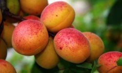 Apricot widescreen