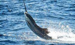 Atlantic sailfish Widescreen