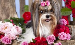 Australian Silky Terrier Widescreen
