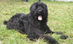 Black Russian Terrier Free