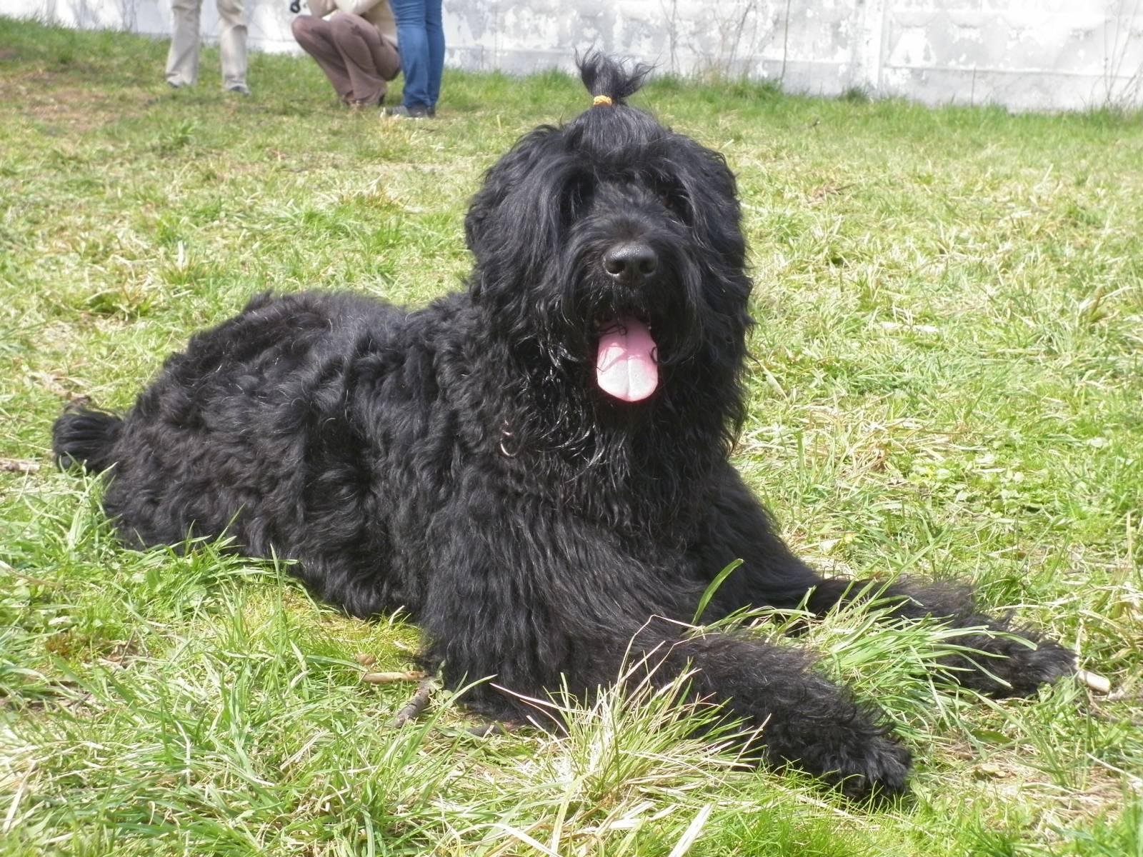 Black Russian Terrier Free
