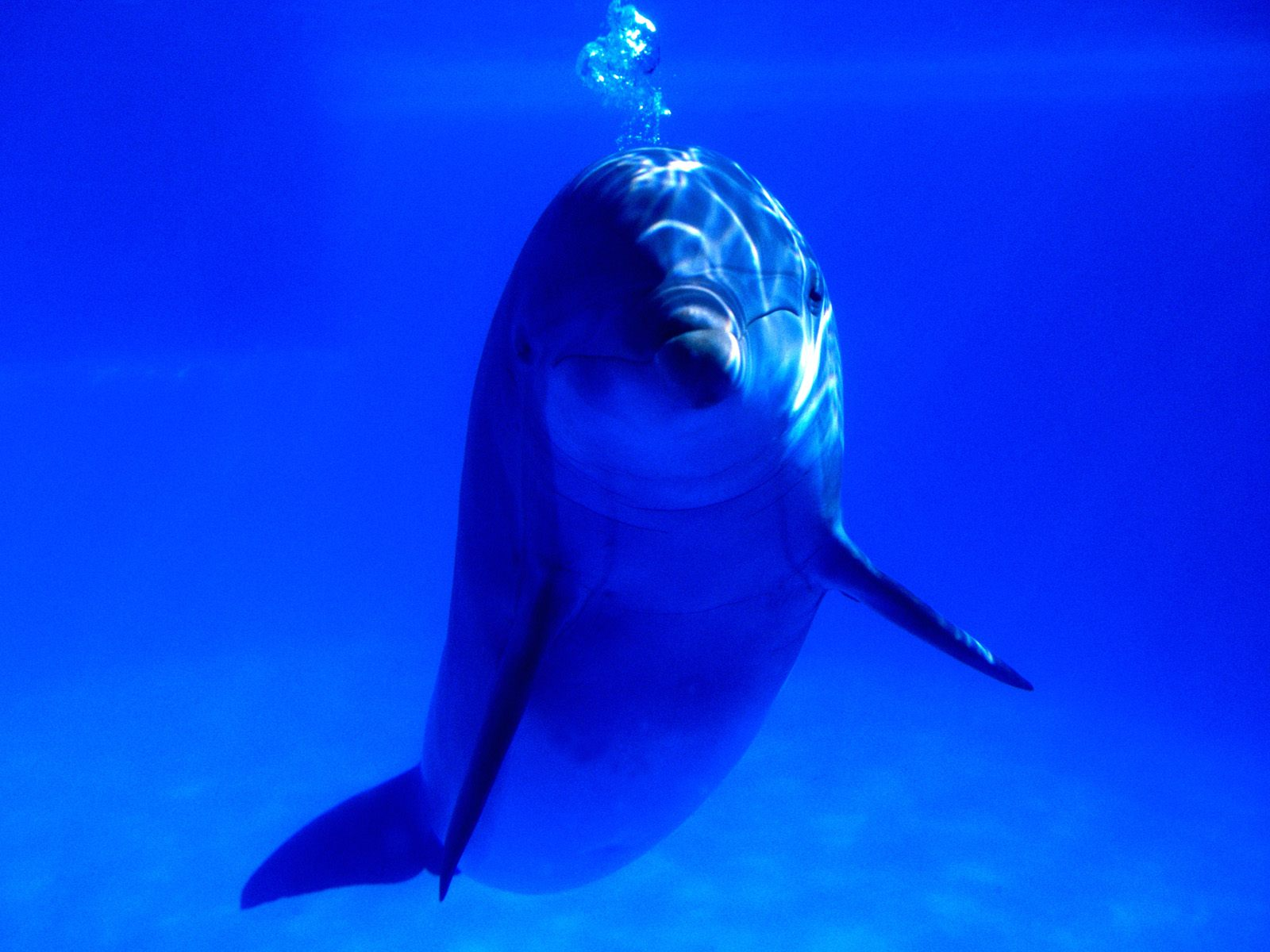 Bottlenose dolphins Widescreen