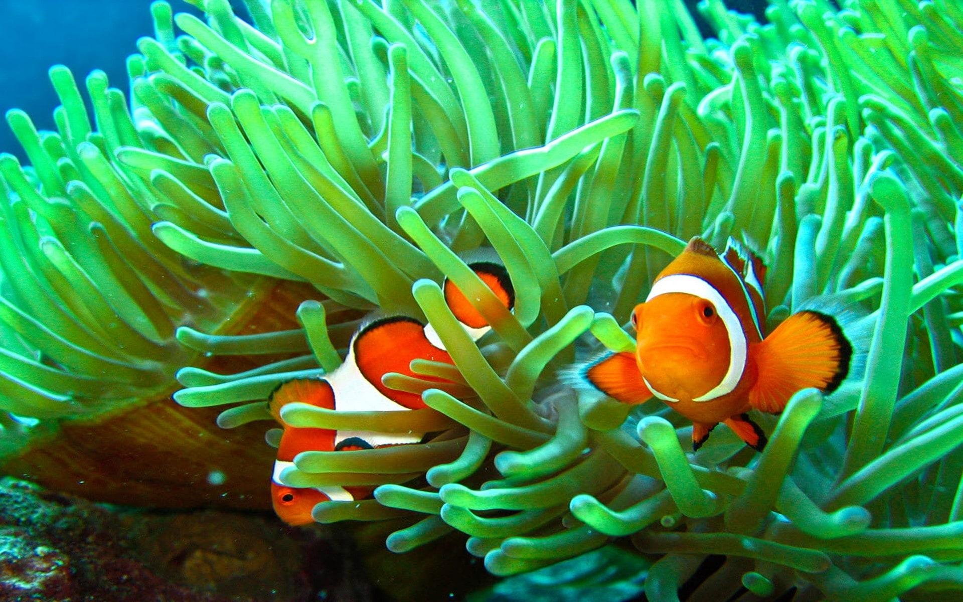 Clownfish Hd Wallpapers 7wallpapersnet