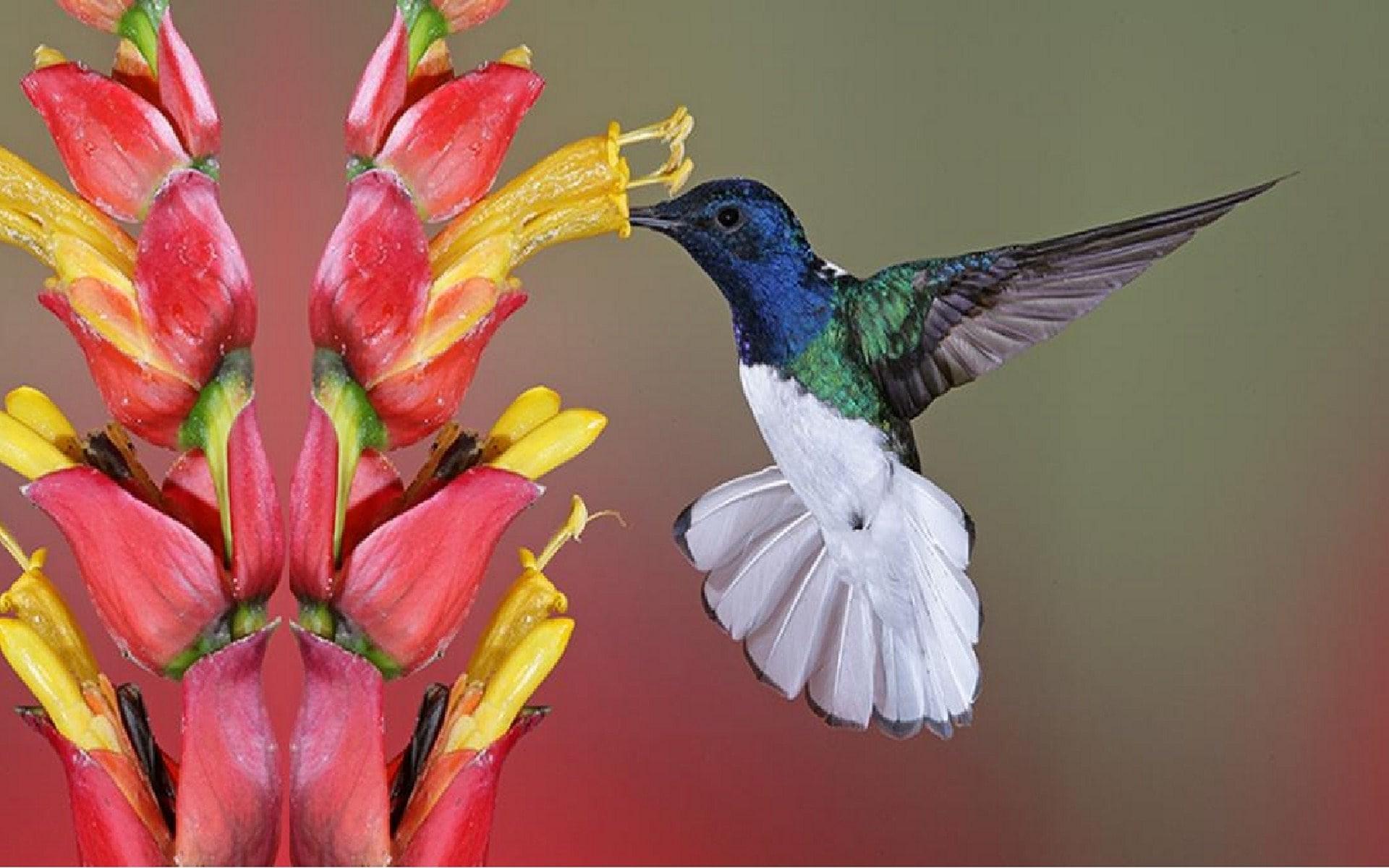 Colibri Widescreen