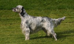 English setter Widescreen