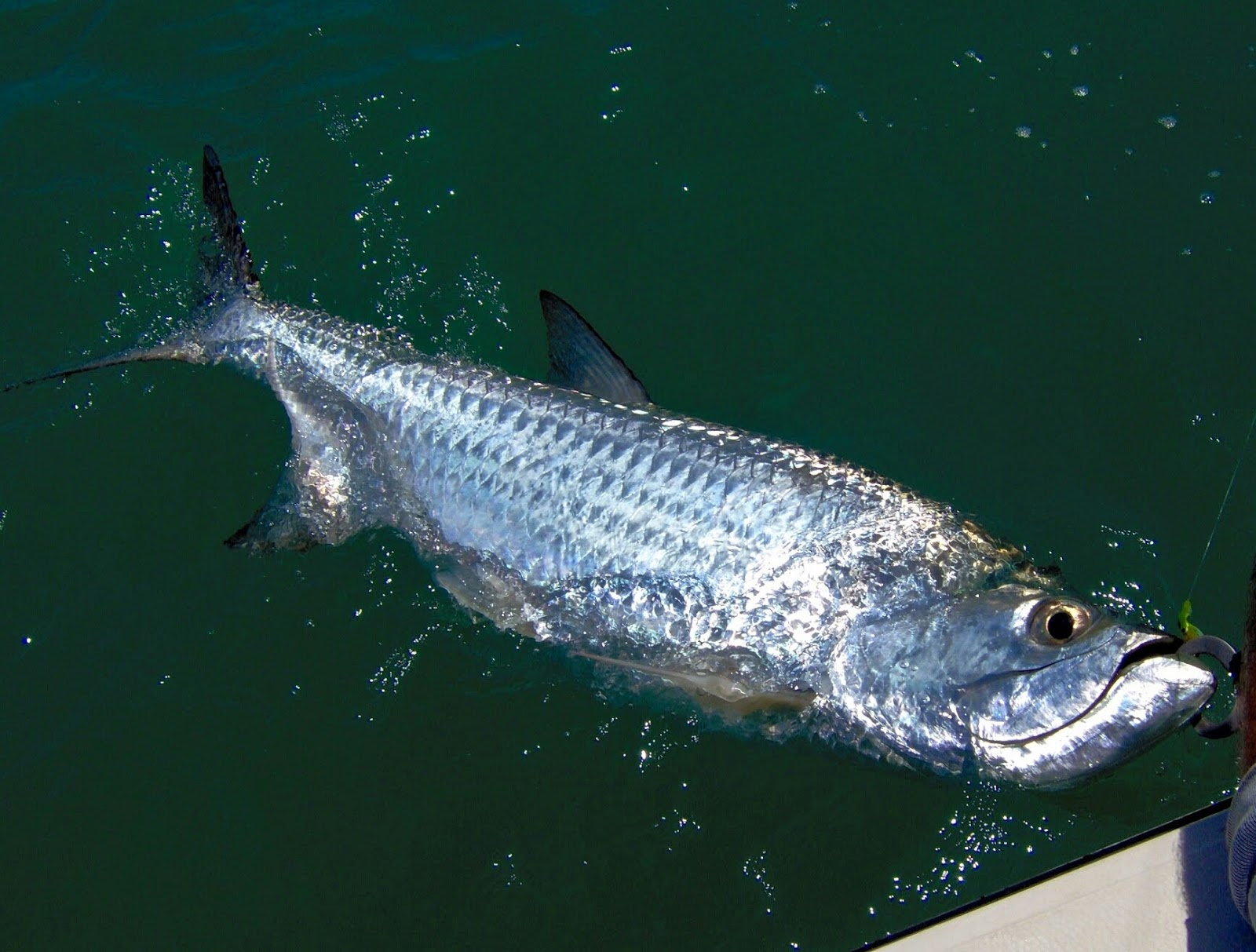Fighting tarpon Widescreen