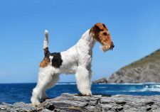 Fox Terrier Download