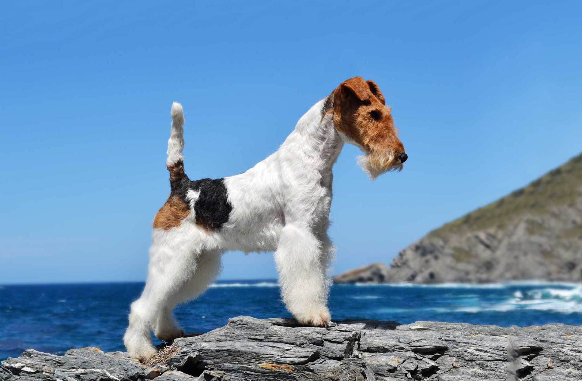 Fox Terrier HD Desktop Wallpapers | 7wallpapers.net