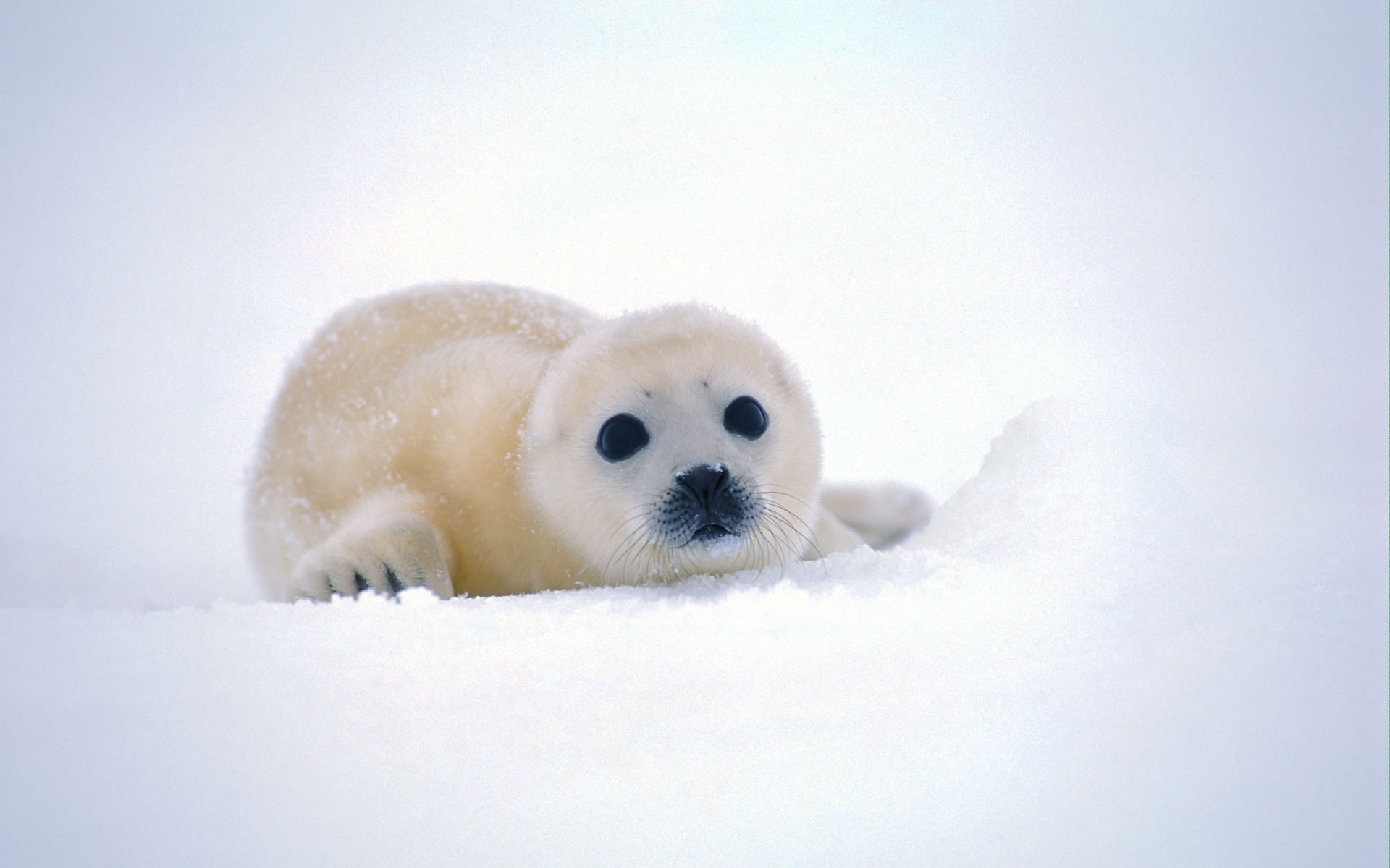 Harp seal Widescreen