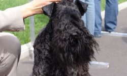 Kerry Blue Terrier Widescreen