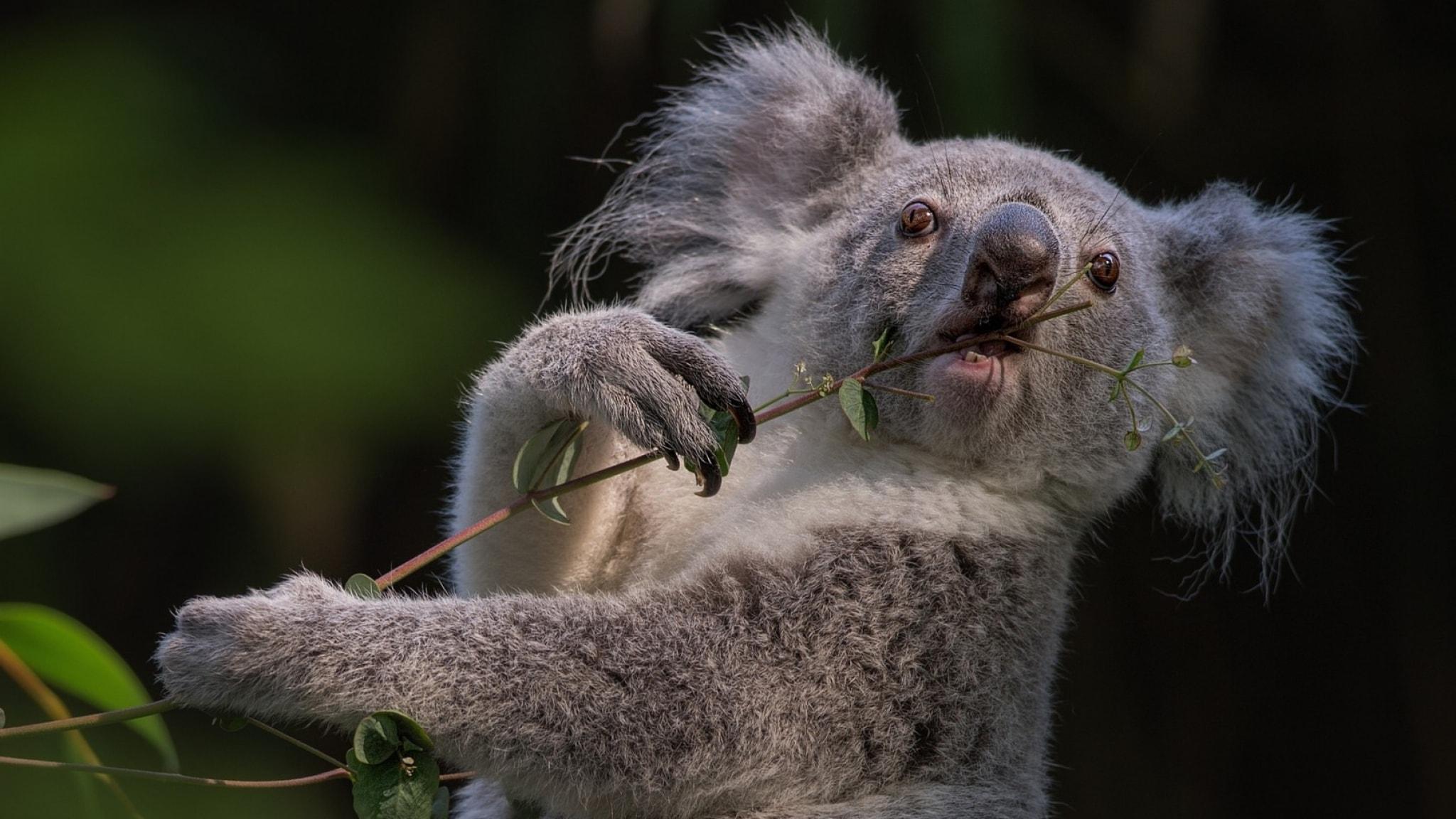 Koala Widescreen