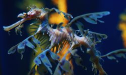 Leafy Seadragon Widescreen