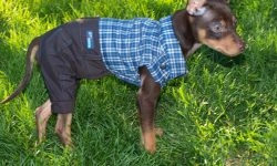 Miniature Pinscher Widescreen
