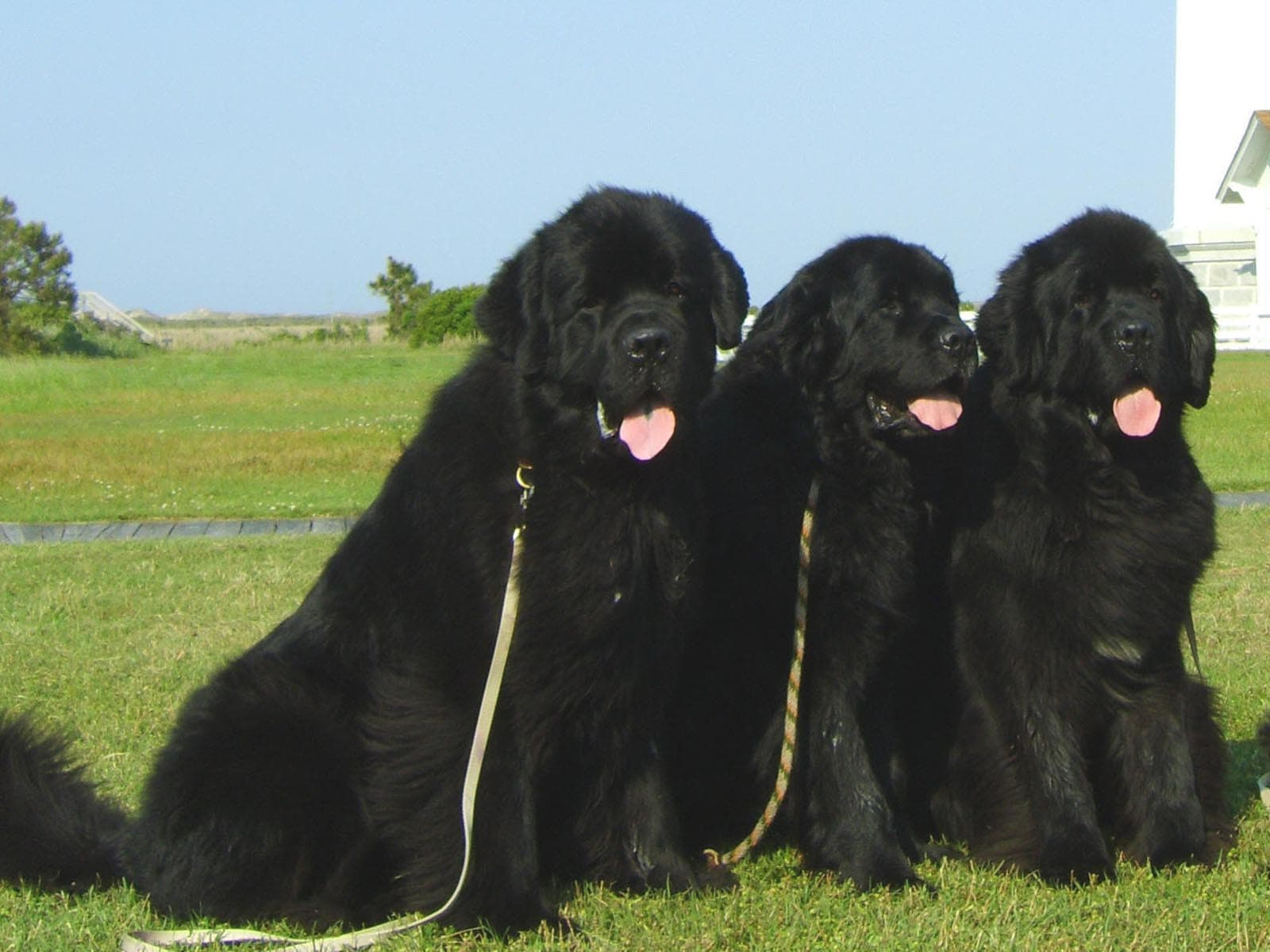 Newfoundland Dog Widescreen