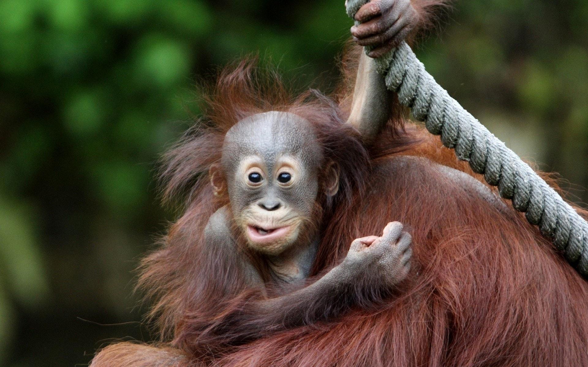 Orangutan Free