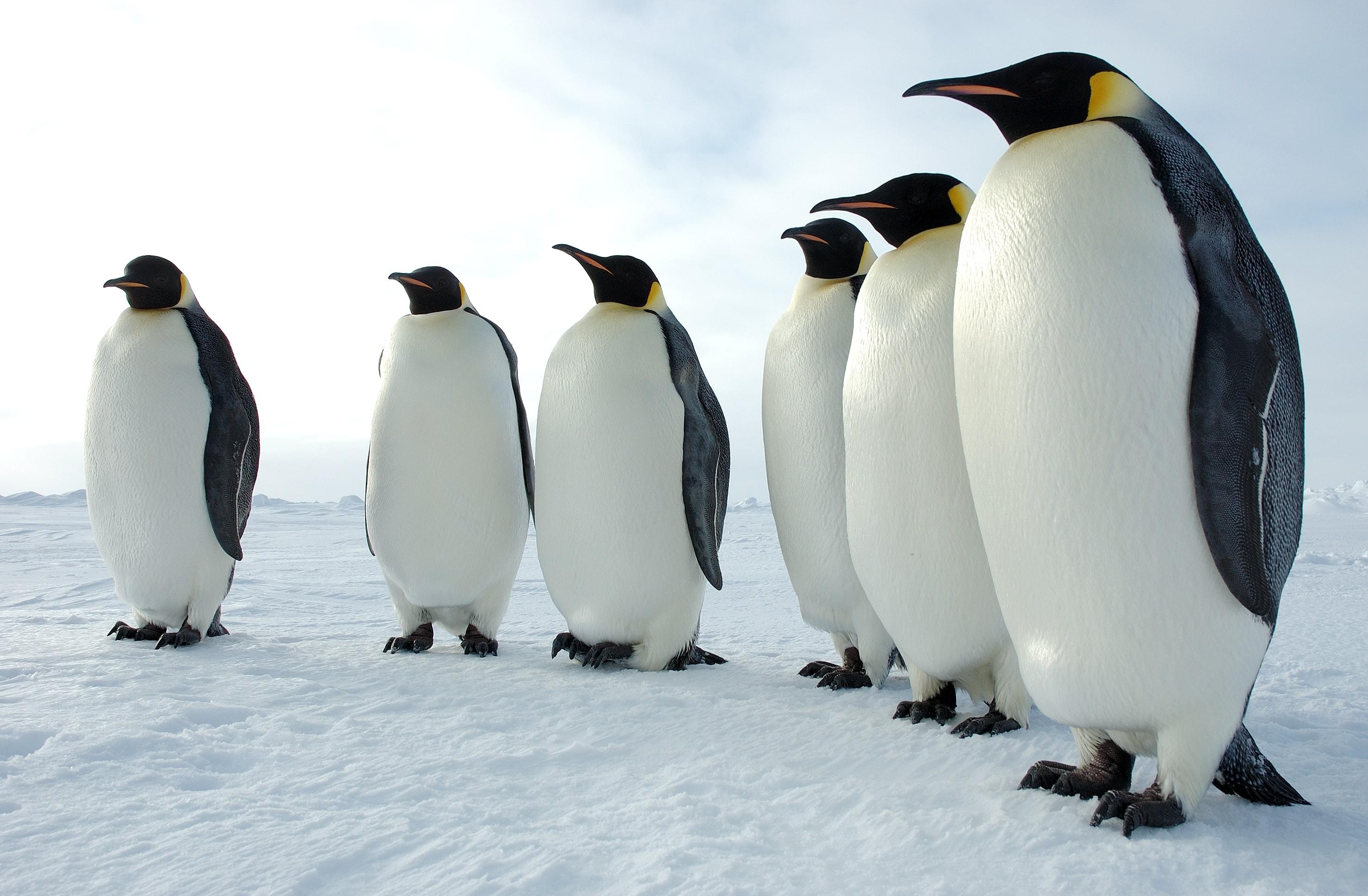 Penguin Widescreen