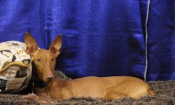 Pharaoh hound Widescreen