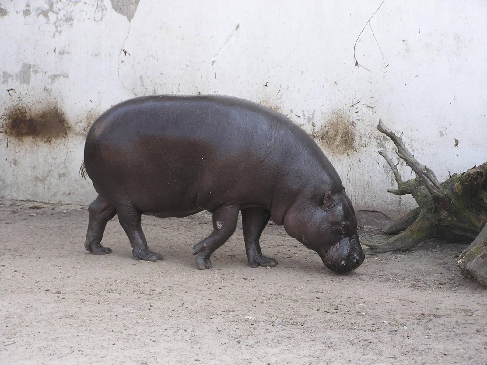 Pygmy hippopotamus Widescreen