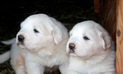 Pyrenean Mountain Dog Free