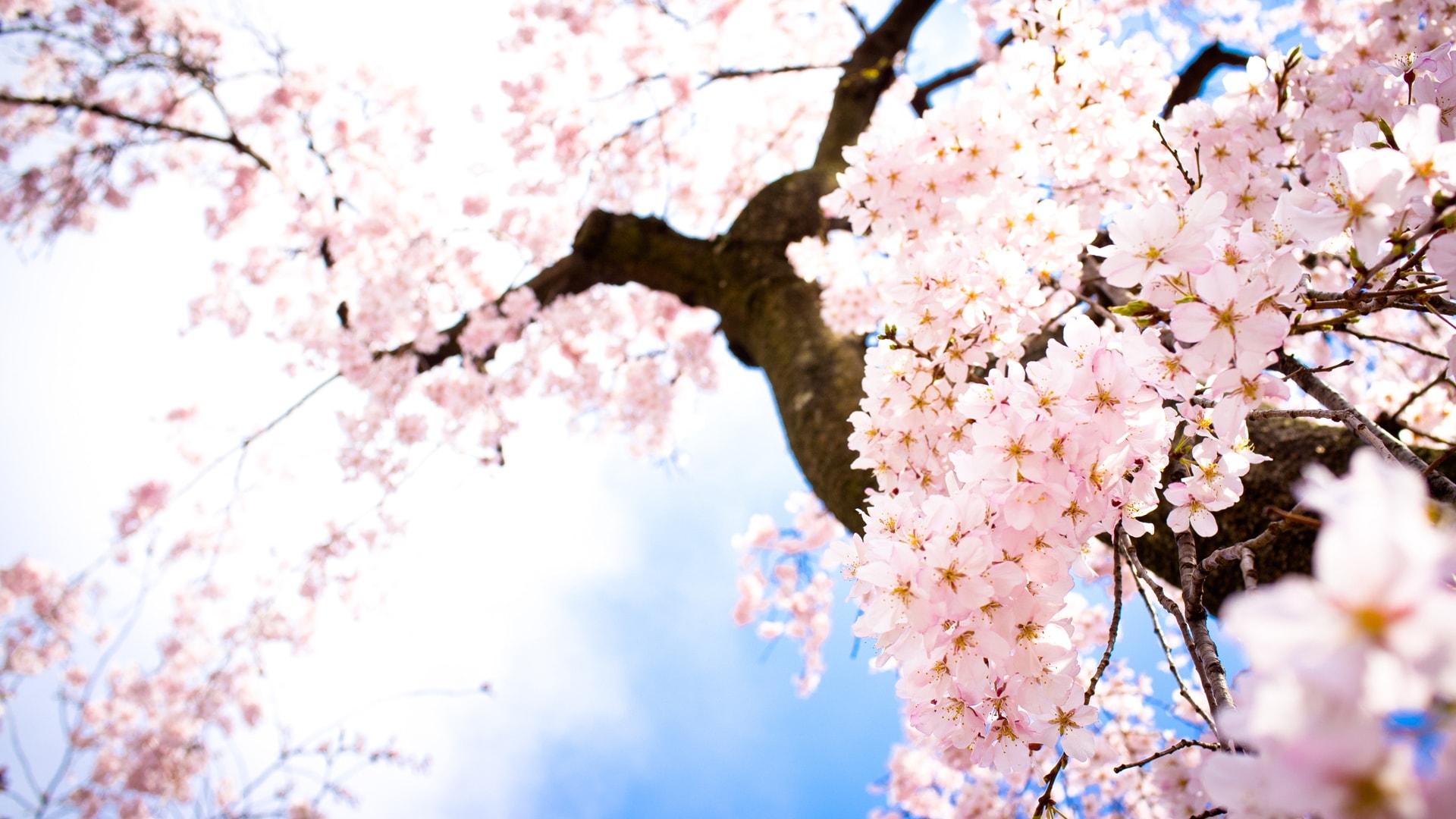 Sakura flower Widescreen