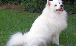 Samoyed Husky Widescreen