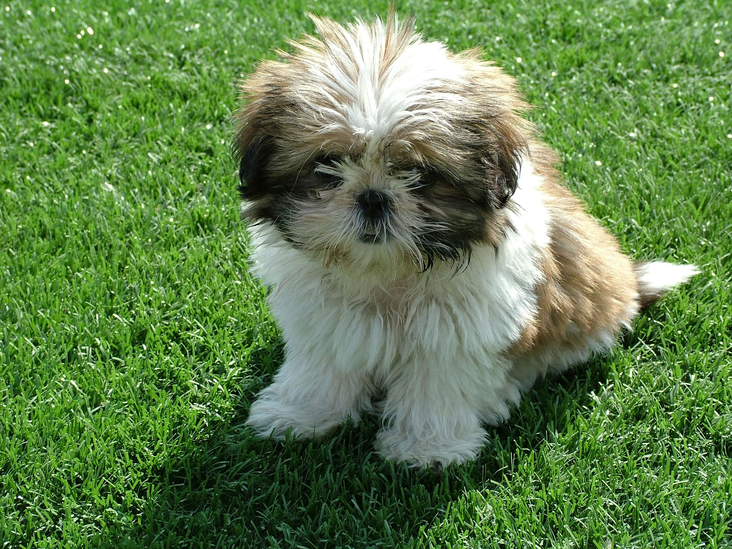 Shih Tzu Widescreen