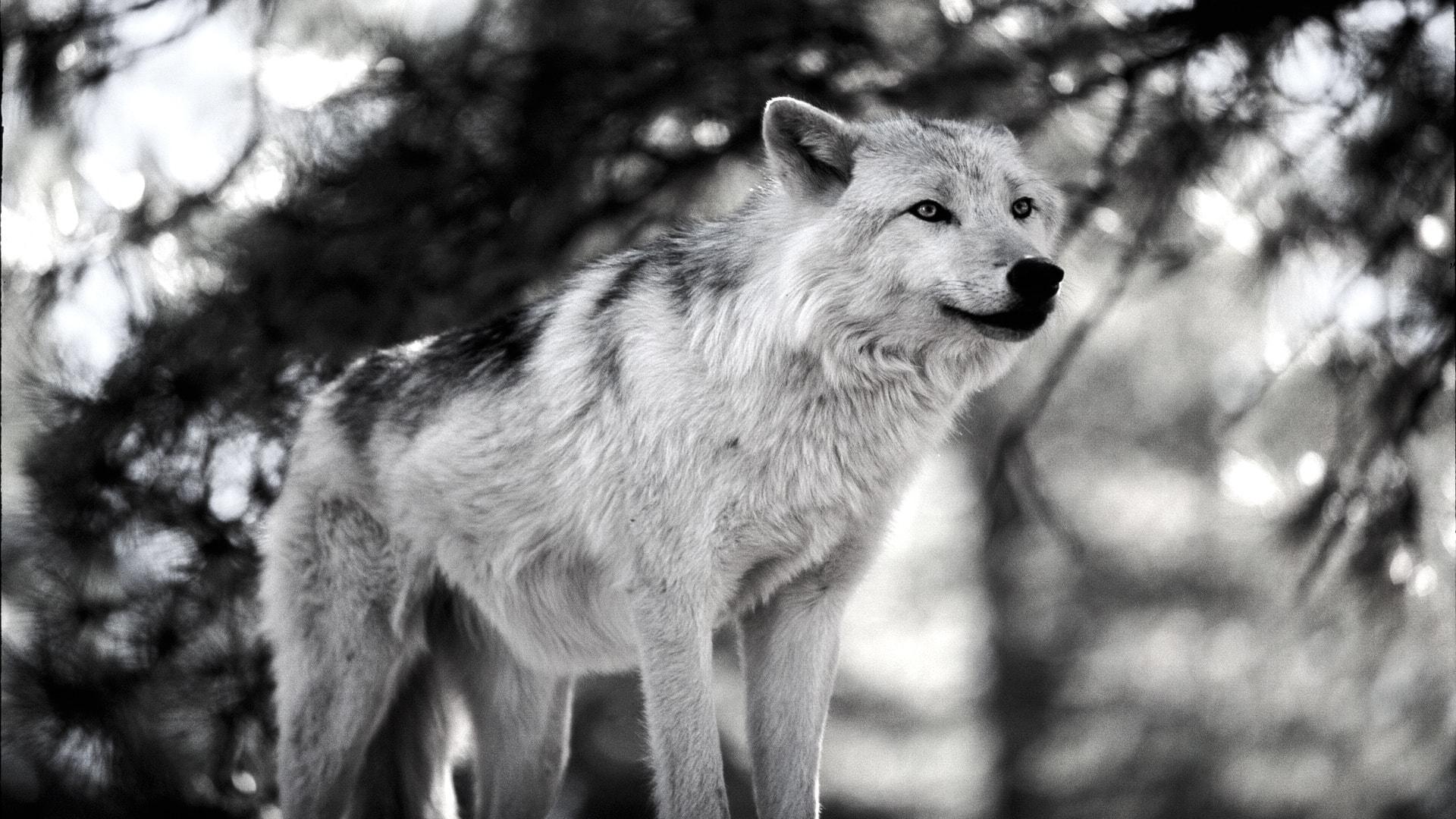 Wolf Free