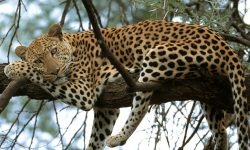 Jaguar desktop wallpaper