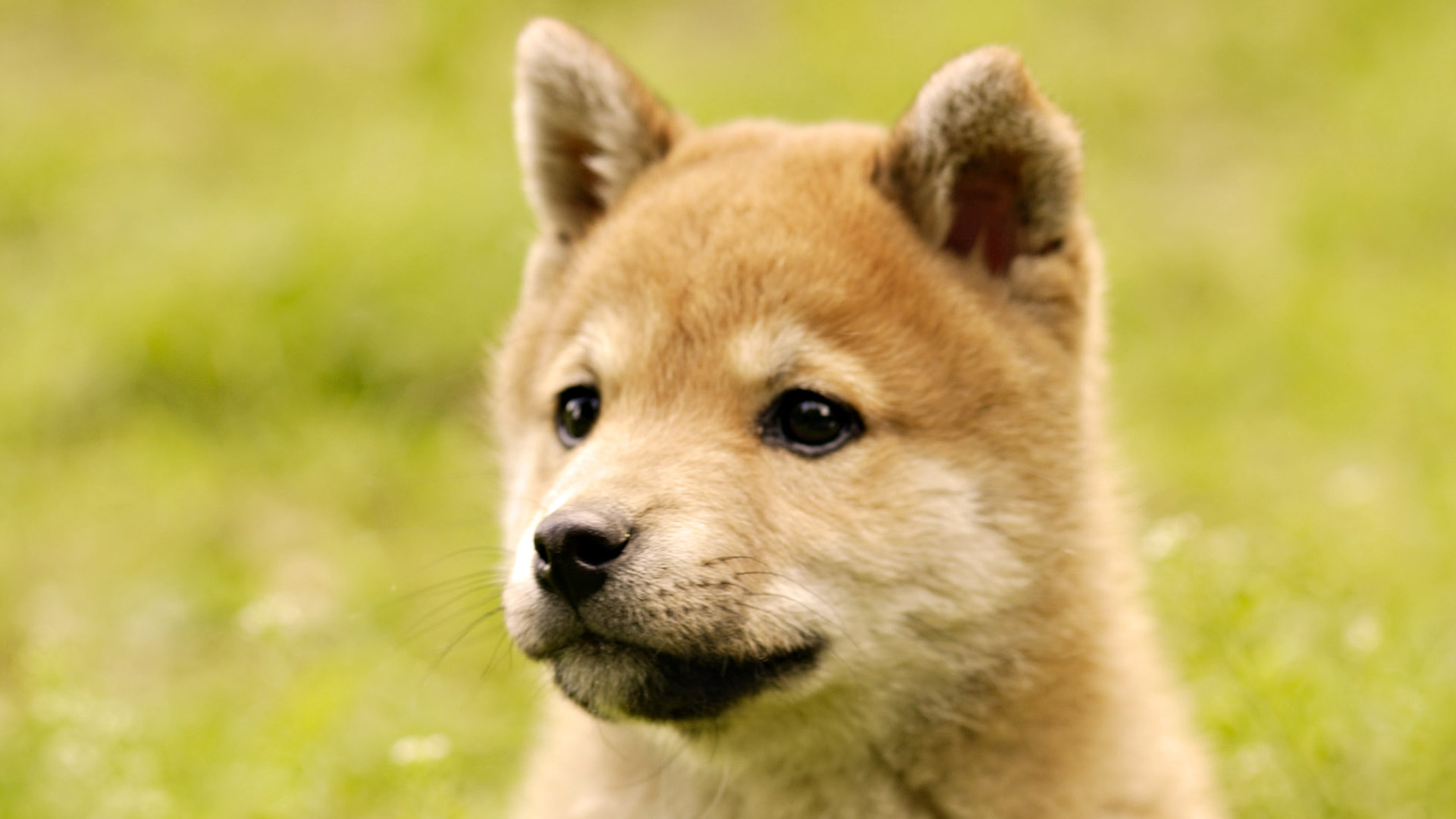 Akita Inu Hd Wallpapers 7wallpapers Net
