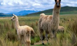 Alpaca Download