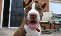 American Pit Bull Terrier Download