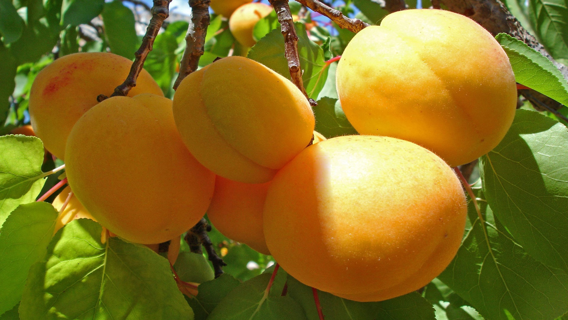Apricot Download