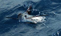 Atlantic sailfish Download