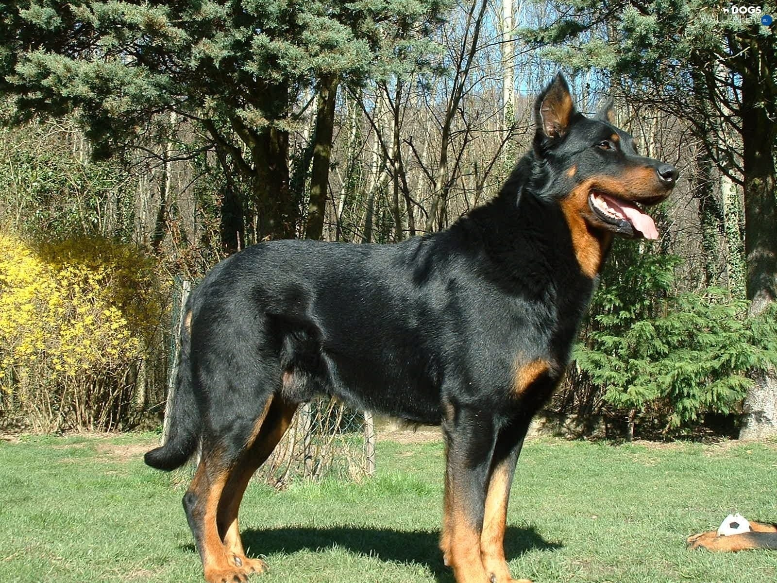 Beauceron Download