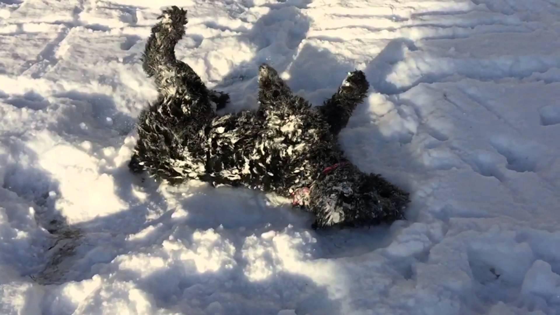 Black Russian Terrier HD