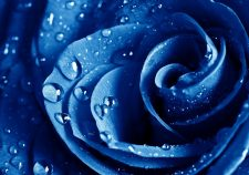 Blue Rose Download
