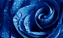 Blue Rose Download