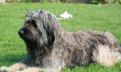 Briard Download