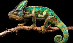 Chameleon Download