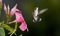 Colibri Download
