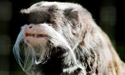 Emperor Tamarin Download