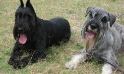 Giant Schnauzer Download