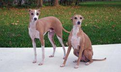 Greyhound Widescreen