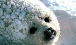 Harp seal Download