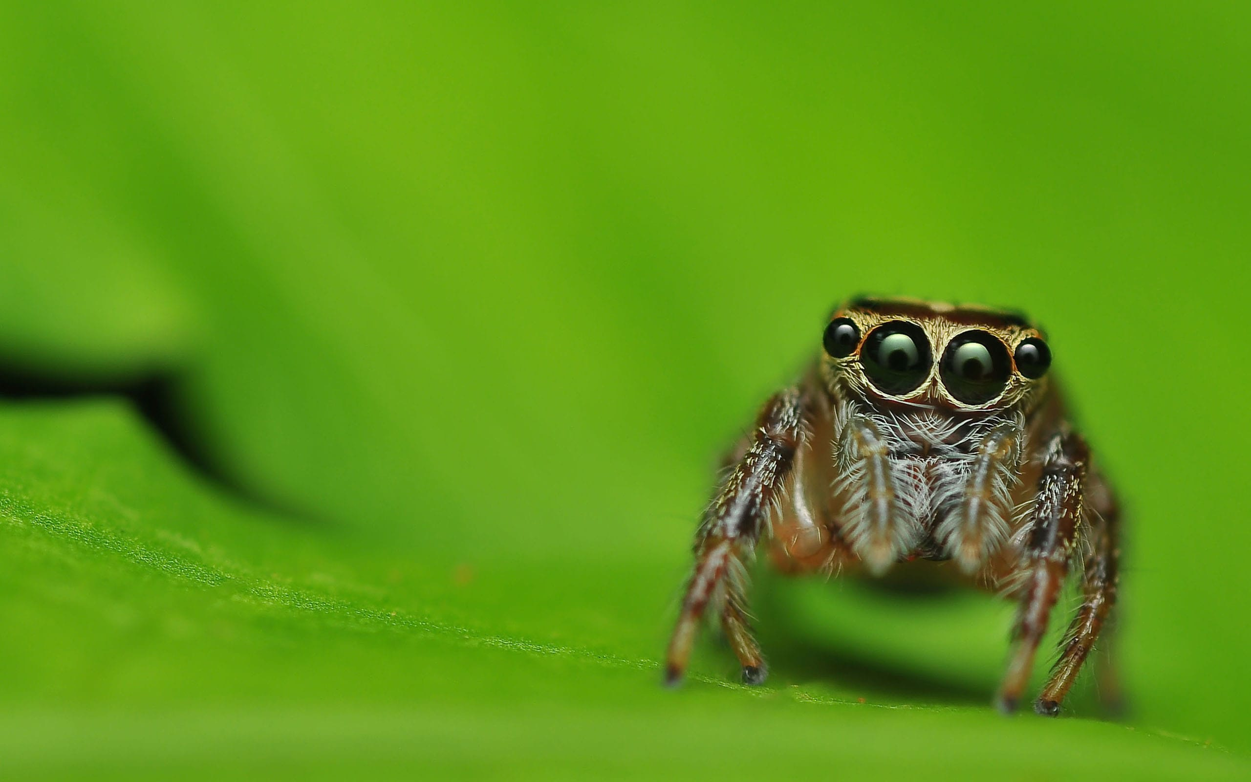 Jumping spider Download