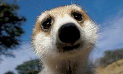 Meerkat Download