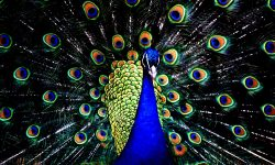 Peacock Download